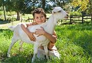 image - goat