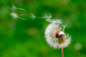 dandelion seeds scattering in the wind