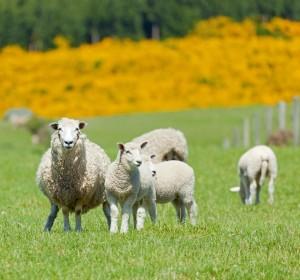 Israel, His Sheep   AnneElliott.com