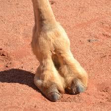 Camel Hoof