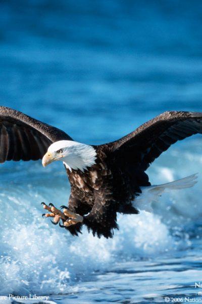 Assyria represented by an eagle   Hosea 8:1