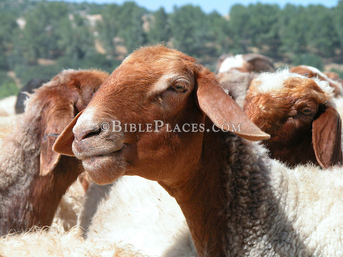 Sheep in Elah Valley